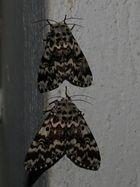 Zwilling - Panthea coenobita