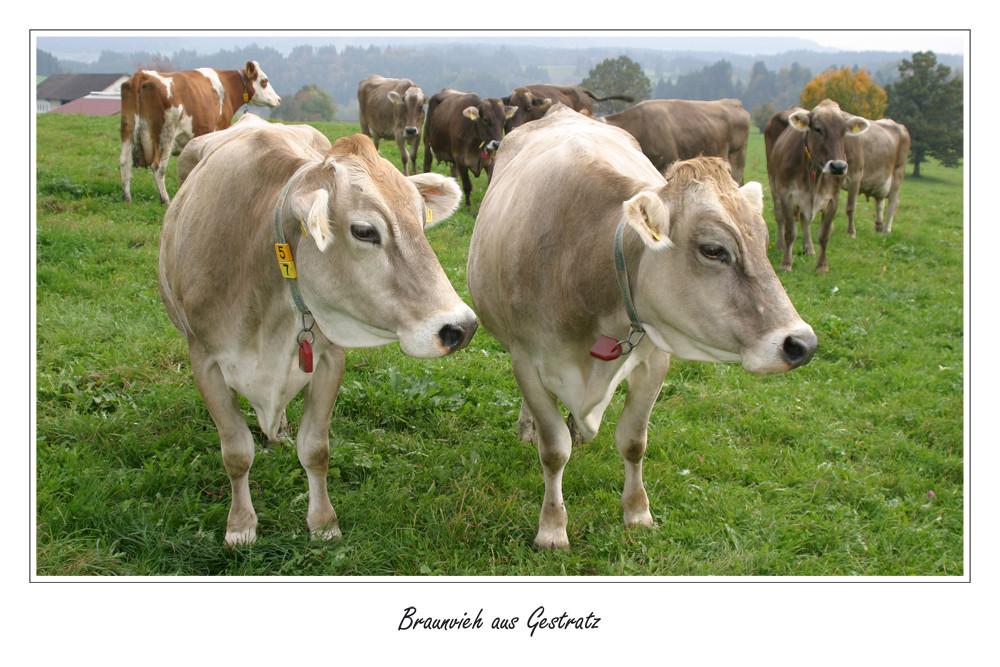 Zwillings-Kühe