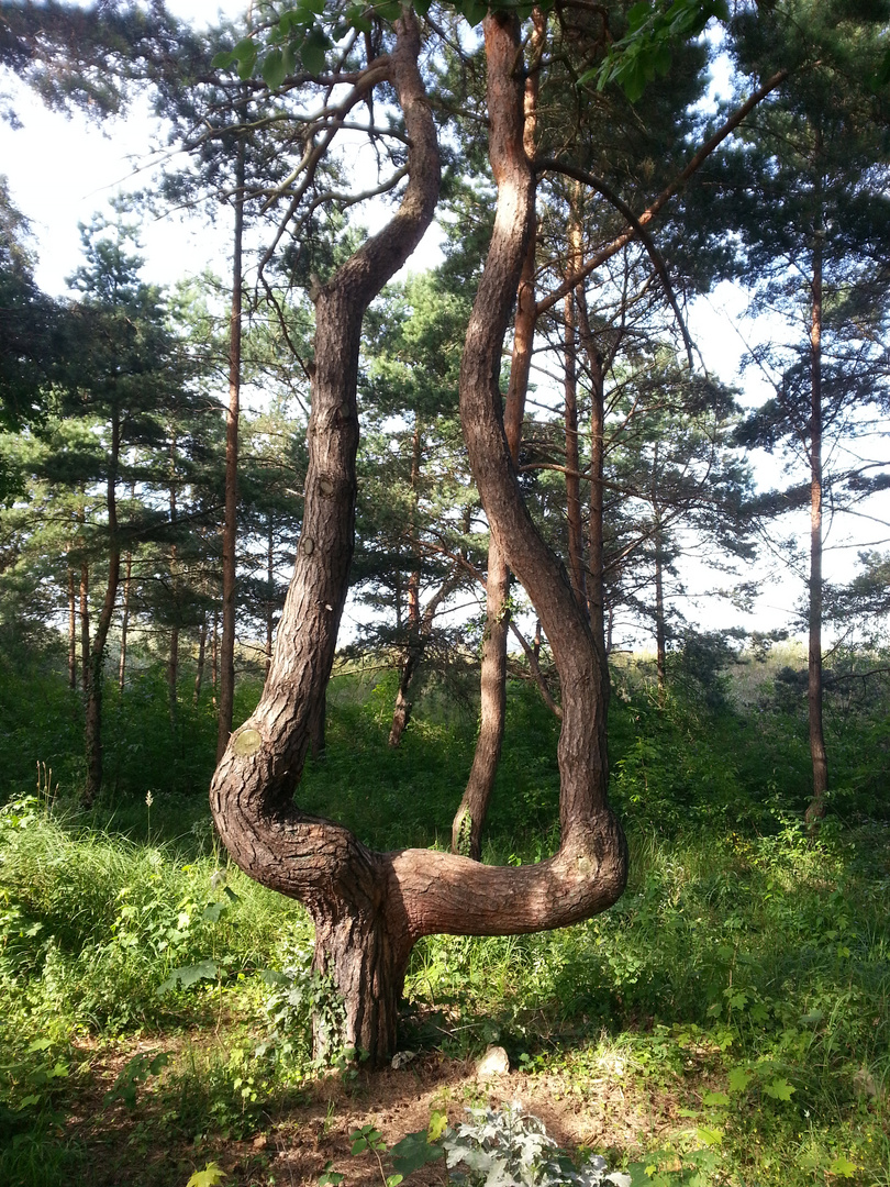 Zwillingsbaum
