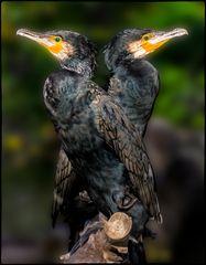 Zwillingspaar Kormorane