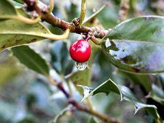 Zwischen den Jahren - Ilex Aquifolium